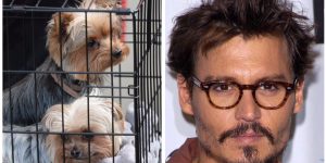 johnny-depp-is-flying-his-dogs-back-from-australia-after-a-politician-threatened-to-kill-them